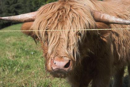 Ein Bulle stoppte kurzzeitig den VAUDE Trans Schwarzwald