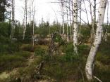 Birken im Hochmoor