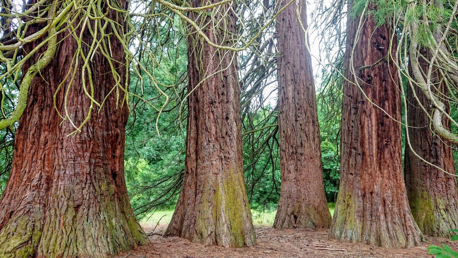 Mammutbäume bei Landstuhl